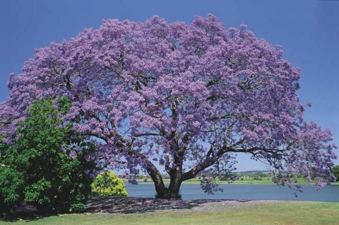 jacaranda-grafton